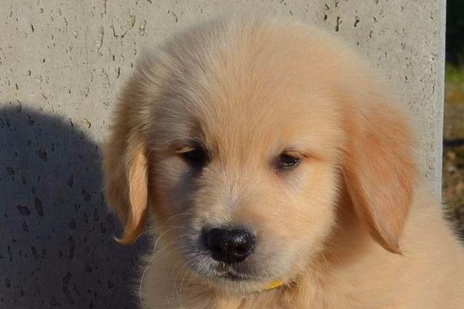 Dumonts Goldens Has Golden Retriever Puppies For Sale In Modesto Ca On Akc Puppyfinder Golden Retriever Retriever Puppy Puppies