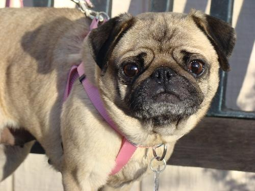 Dolly  Breed:  Pug (short coat)  Age:  Young  Sex:  Female  Size:  Small  Shelter:  Pug Rescue of Sacramento-PROS Pug Rescue Bay to the Borders  Location:  Concord, CA 94524