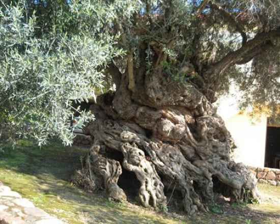 It is the oldest known olive tree on Earth, with a tree ring age of at least 2,000 years. Carbon daters have estimated it to be about 4,000 years old, and it still produces tasty olives today. It is 15 feet thick at the base, is not particularly tall, as olive trees go, but is, quite literally, gnarly. Totally gnarly. The trunk is magnificently swirled, knotted, and bulbous.    This one may be the tree Pliny the Elder (23-79 AD) wrote of when mentioning a sacred Greek olive tree 1,600 years…