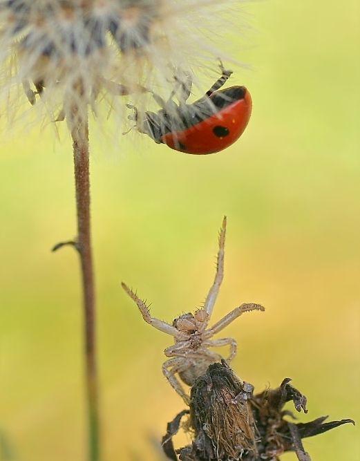 Insekt Insekten Käfer Krabbenspinne Makro Marienkäfer PMK Siebenpunkt Spinne Tier Tiere