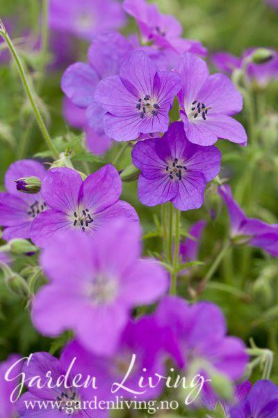 Storkenebb - Geranium clarkei 'Kashmir Purple' - Garden Living