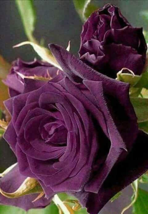 Rosas púrpura