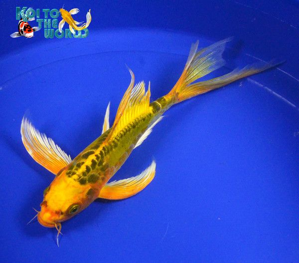 Best 25 shubunkin goldfish ideas on pinterest types of for Goldfisch und koi