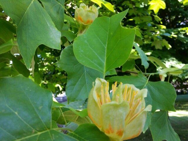 Tulpanträdet som planterades till minnet av Linnés besök på Sjöbo Gästgifvaregård