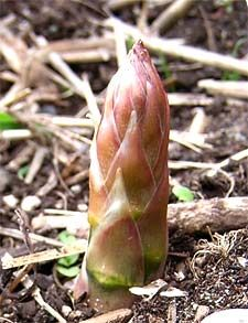 Growing vegetables in the PNW: Artichoke, Asparagus, Beans, Broccoli, Carrots, Potatoes, Lettuce, Onions, Peas, Radishes, Rhubarb, Swiss Chard