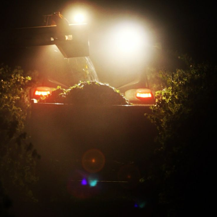 Harvesting shiraz at night on the Taylors Clare Valley vineyard.