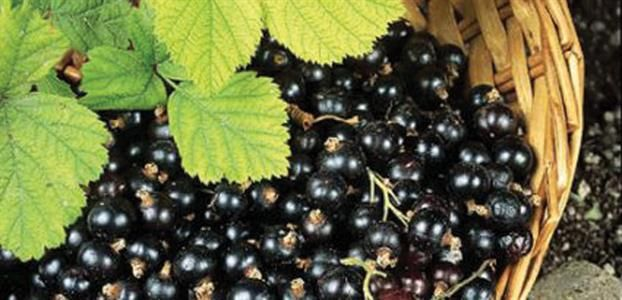 BLACK CURRANT Blackcurrants have long been used to make that famous cordial loved by children. The berries give the syrup its dark, dark colour, and when mixed with plenty of sugar, have a very pleasant berry flavour. You can also make blackcurrant jam and jellies.