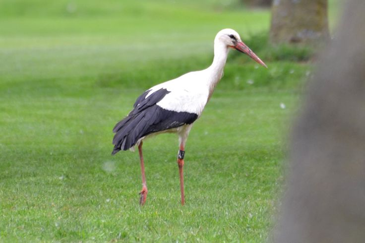Walking stork at the Golf Club Udine, Fagagna - Italy