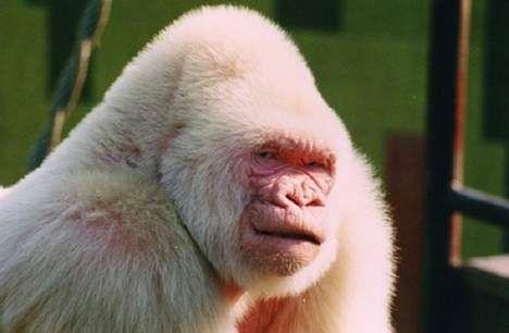 Wetenschappers hebben eindelijk het mysterie achter albinogorilla Snowflakes (Sneeuwvlokje) ontrafeld. Het dier kreeg zijn witte vacht als gevolg van inteelt.