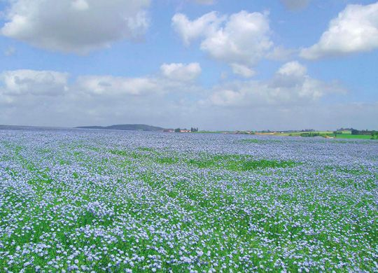 Cool blue. A field of flax in full bloom. The linen comes later.