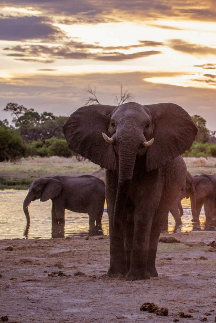 Elephants Up Close | It was a common safari sight, and it might not have been as memorable in the safety of a vehicle. Seeing it on foot, with the knowledge that one sudden move could cause an elephant stampede, certainly added excitement to the situation.