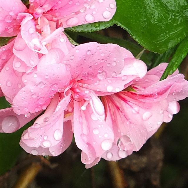 Raindrops on geraniums.jpg, via Flickr.