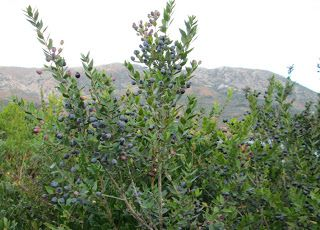 Der Geschmack von Kreta: Myrte - Medizin, Gewürz und leckerer Likör