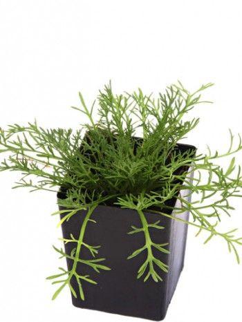 Organic Roman Chamomile |Anthemis nobilis Syn. Chamaemelum nobile plant - herbcottage