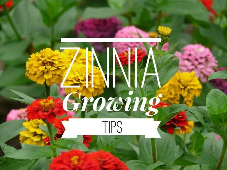 Gardeners love zinnias! They are showy, bright, and easy to grow. They continue to bloom from early summer until the first frosts of fall, and most varieties make lovely cuttings to enjoy in a vase…
