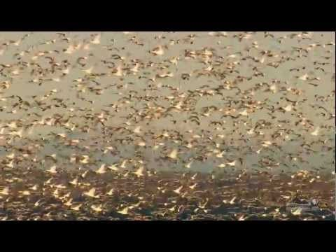 The Annual Snow Goose Migration at Point Au Roche in Plattsburgh NY - YouTube