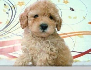 ¡Qué lindo caniche! http://venta-mascotas.vivavisos.com.ar/comprar-mascota+liniers/yorkshire-machito-de-10-meses-pesa-3-kilos-muy-buenito-vacun/45121482