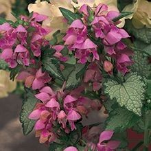 The #Lamium is great for ground cover, hanging baskets or in containers! For more alternatives, visit us at: http://www.sheridannurseries.com/products_and_services/product_selection/shade_impatiens_alternatives
