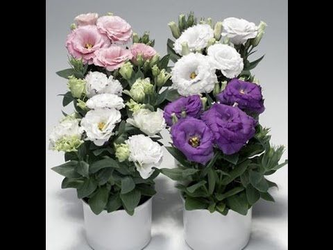 Все про уход за эустомой (лизиантусом, японской розой)