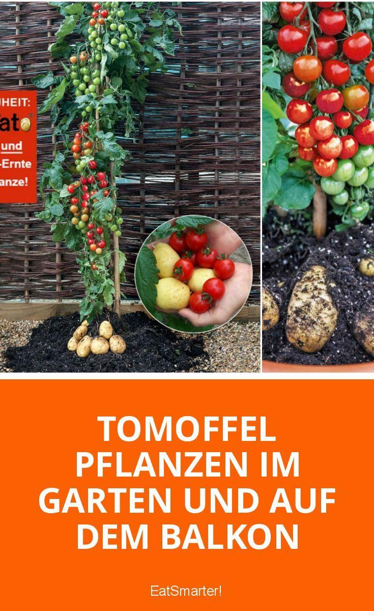 Pflanz-Tipps für die Tomoffel = Tomate + Kartoffel