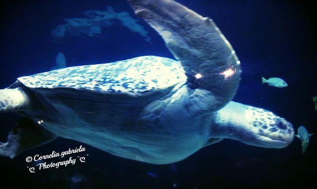 WEBSTA @ ja.ich.bin.es - isn't she beautiful? #vancouveraquarium *#turtle - here #aquarium Stanley Park Vancouver*#nofilter @ja.ich.bin.es ~cornelia.gabriela~****#vancouveraquarium #turtle #canada #stanleyparkvancouver #vancouverbc #vancoverbuilder #vancouveraquarium #vancouverphotographer #vancouverblogger #aquarium #vancouveraquarium🐬 #bestoftoday #backpacking #reisefieber #reisen #vancouverbc #vancouverbest #2017bestnineinstagram #2017bestnineinstagram #selfie…