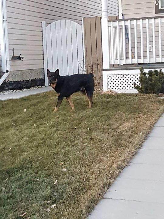 Found black w/ tan dog in #bridlewood 403-560-1191 Pls rt & share to find family! YYC Pet Recovery shared Mandy McKay's post. UPDATE: REUNITED Found just now on Bridlewood Ave. Male seems friendly enough. Call me 403-560-1191 2017-12-11T00:25:32.000Z by  YYC Pet Recovery http://ift.tt/2B0EMfv