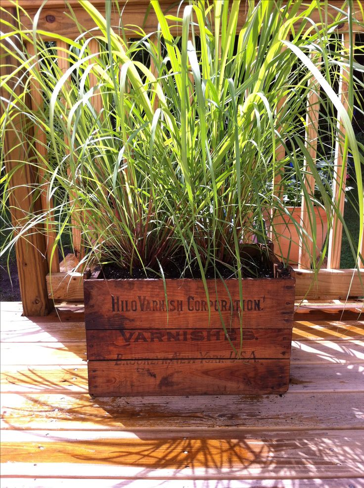 Lemongrass (mosquito deterrent) on the deck planted in an antique wooden crate (after spraying the wood for weatherproofing)!!