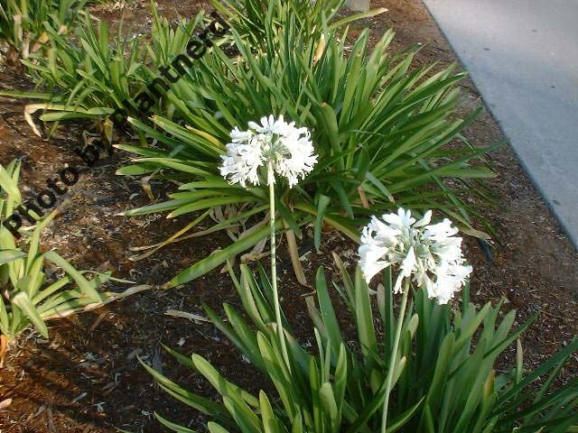 [Agapanthus africanus] Monthly Plant Care Reminders By Julie Bawden-Davis