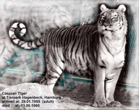 Caspian Tiger | Caspian Tiger (Virgata)