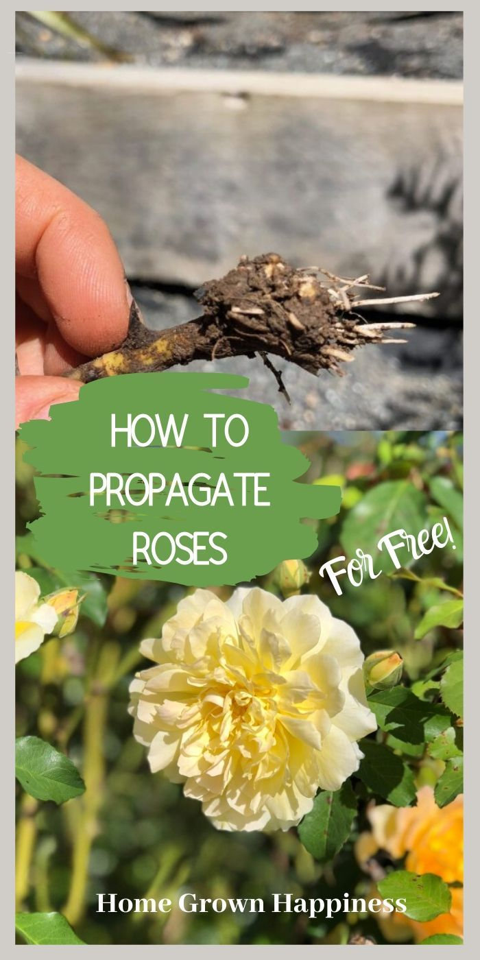 How To Propagate Roses Easily And For Free Growing Roses Rose Cuttings Rooting Roses