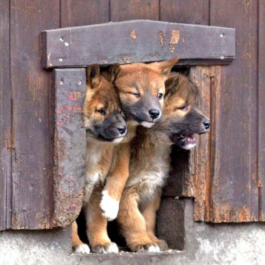 Cerberus?The Doors, Dogs, Funny Pictures, Dingo, Pets, Adorable, Things, Funny Puppies, Animal