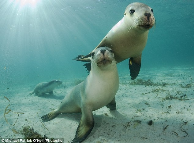 Two curious young sea lions check out the underwater photographer as he takes pictures of them near Port Lincoln, South Australia