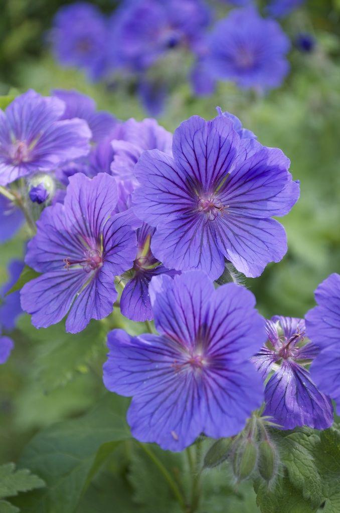 Pour retrouver le nom de mes geraniums vivaces --- Le Jardinier Autodidacte : Comprendre le nom des plantes