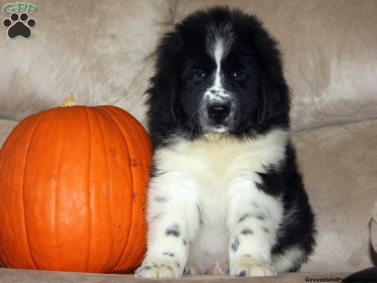 Duncan Newfoundland Puppy For Sale from Gap PA  Pets