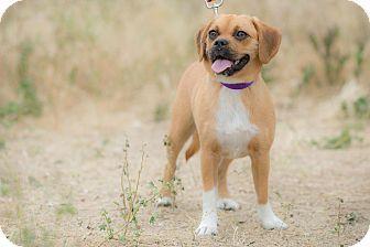 Corona, CA - Pug/Corgi Mix. Meet Akime, a puppy for adoption. http://www.adoptapet.com/pet/15583766-corona-california-pug-mix