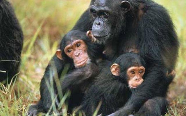 Reo, il primate salvato dalla tecnologia Insieme al bonobo, appartiene ad un ramo evolutivo collaterale alla specie umana, condividendo con essa un antenato comune circa 5 milioni di anni addietro ed essendone la specie vivente filogenetica