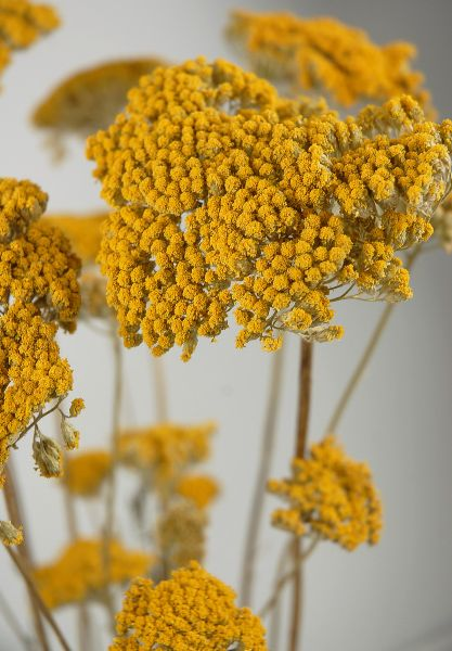 "Preserved Yarrow Stems 12 stems $8 bundle     Mustard yellow heads on sturdy stems  24"" tall   12 stems  heads 7"" wide  Planning for center pieces"