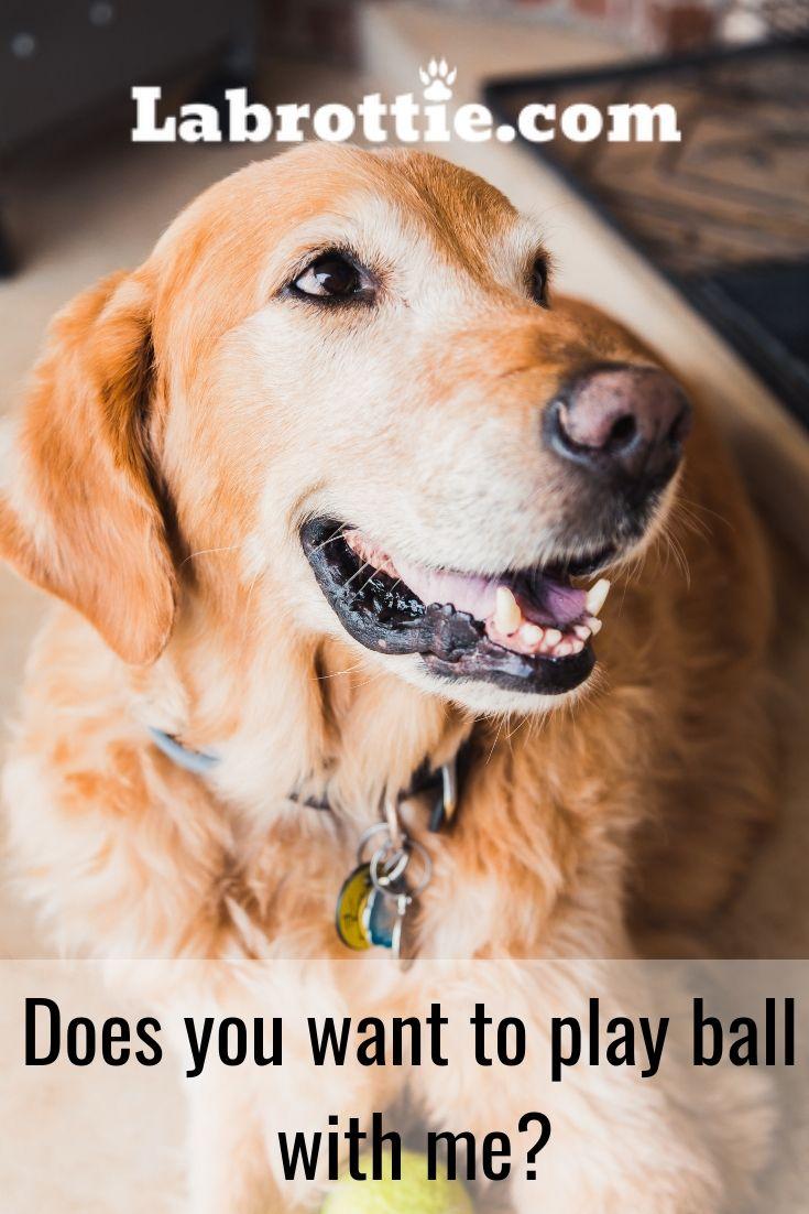 Dog Memes And Tips Dogs Golden Retriever Meds For Dogs Dogs