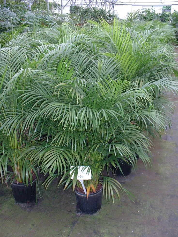 Areca palm plants - 6 Stylish Houseplants That Are Safe For Cats And Dogs