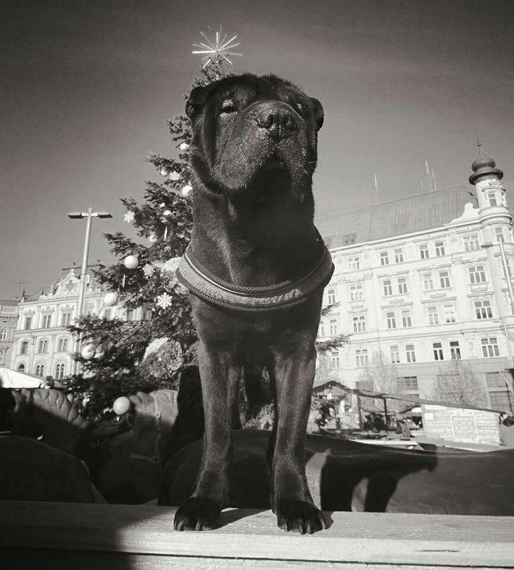 Brno stat #sharpei Barney