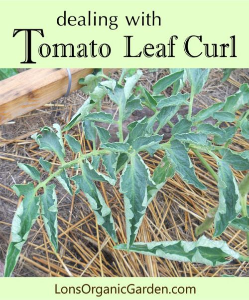 dealing with Tomato Leaf Curl (Physiological Leaf Roll). Causes and symptoms of leaf curl on tomato plants.