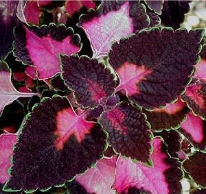 Coleus Trailing Rose