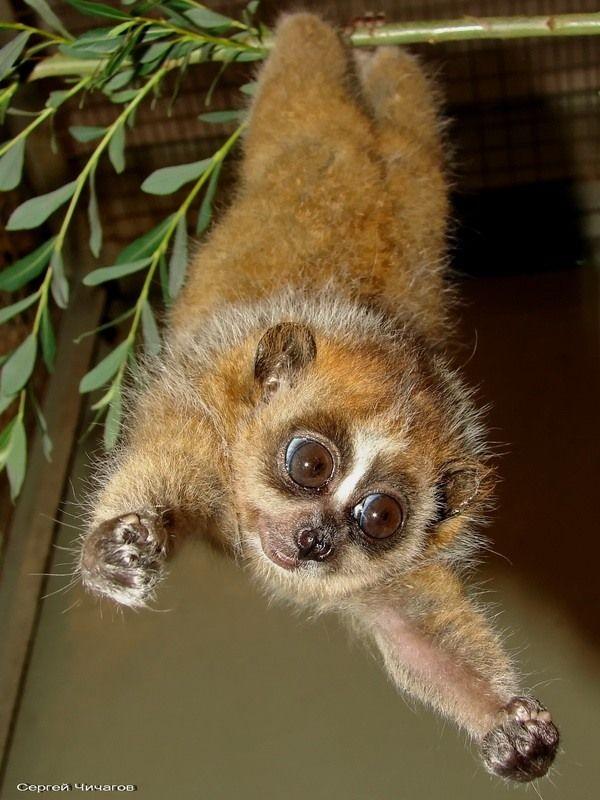 17 Best images about slow loris on Pinterest | Popular ...