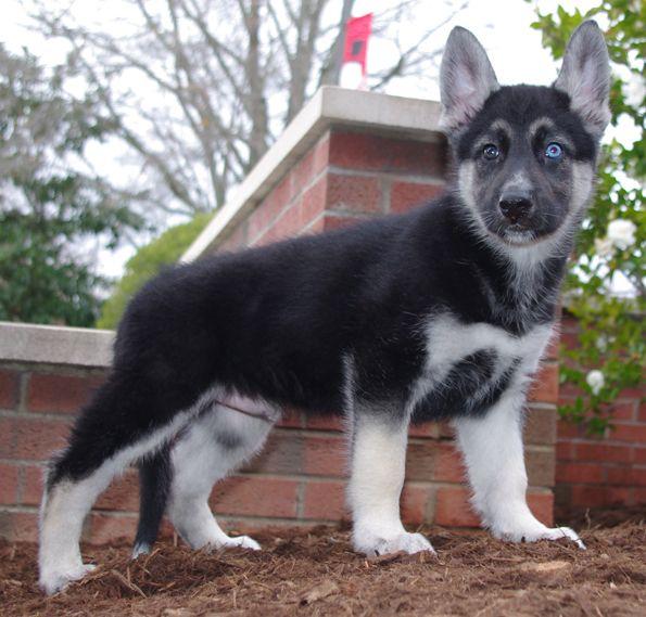 Gerberian Shepsky Boy.   Born 10-9-12.  Hybrid cross between German Shepherd & Siberian Husky.