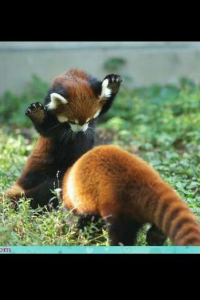 Red panda's are My favorite animals!! ^_^