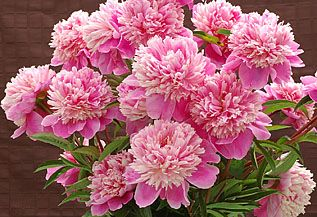 Herbaceous Peonies and Tree Peonies directly from a grower!