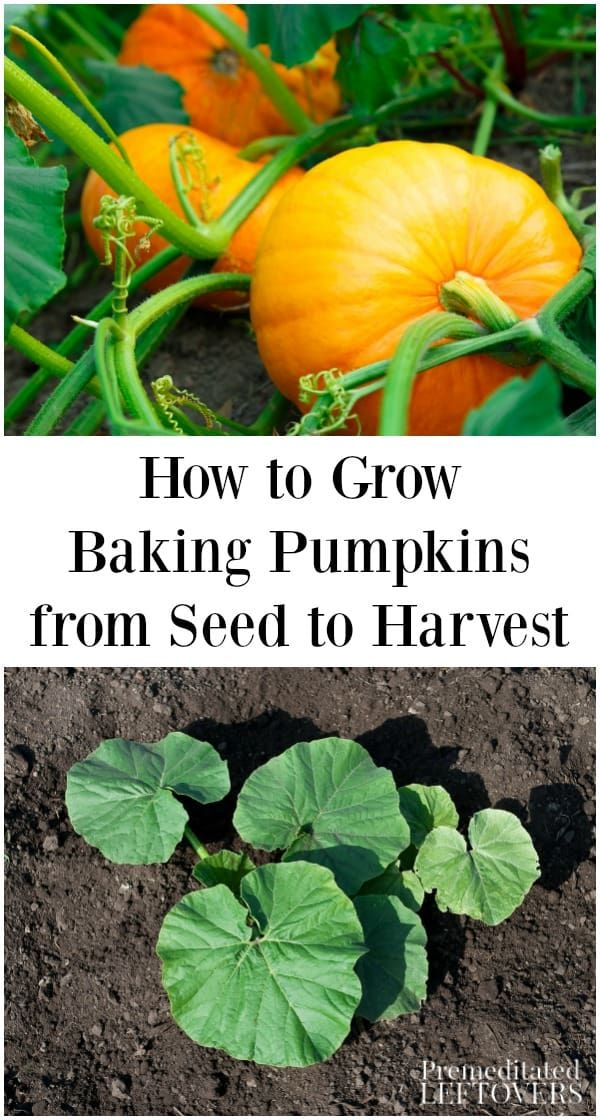 Grow Your Own Pumpkins For Holiday Baking With This Guide On How To Grow Baking Pumpkins Included Are T Gardening Tips From One Determined Gardener Veget