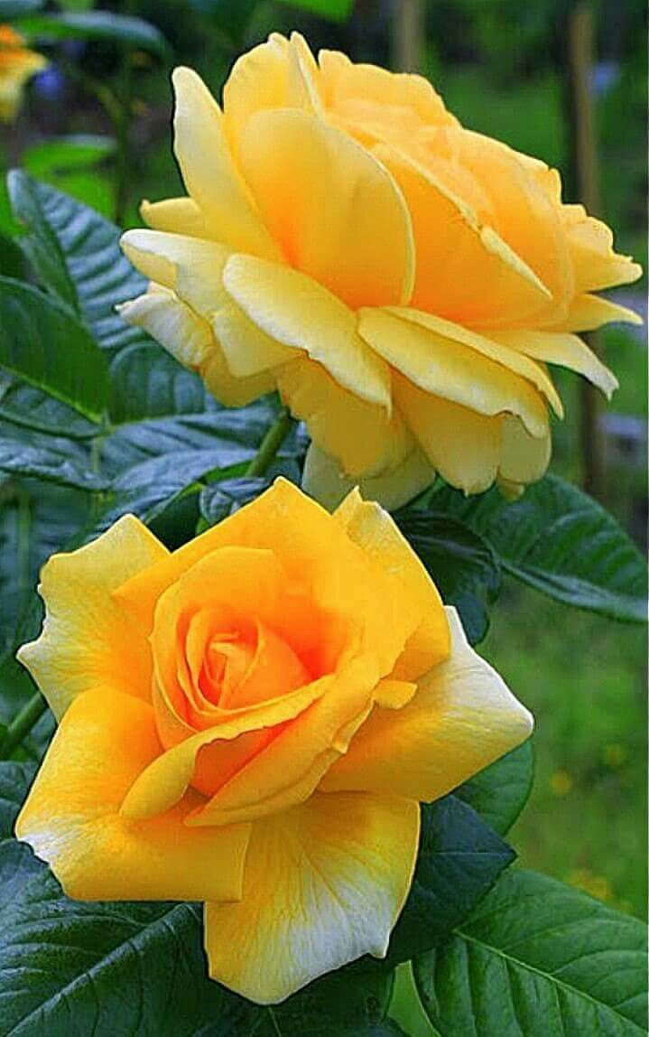782 best yellow roses images on pinterest yellow roses flowers yellow roses dhlflorist Image collections