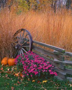 Bureau County, IL: Fall scene of native prairie grasses, pumpkins, chrysanthemums with weathered split rail fence wagon wheel