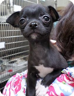 Beacon, NY - Pug/Pomeranian Mix. Meet Phoebe, a puppy for adoption. http://www.adoptapet.com/pet/11724583-beacon-new-york-pug-mix